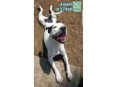 Adopt Amami a White - with Black Pit Bull Terrier / Boxer / Mixed dog in