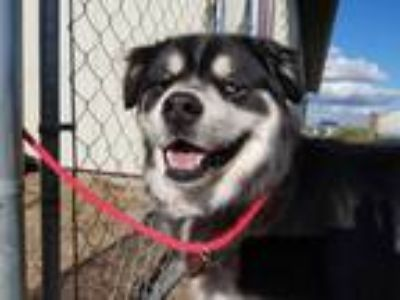 Adopt Lucille a Black - with Tan, Yellow or Fawn Siberian Husky / Tibetan