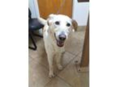 Adopt Molly 2 a Tan/Yellow/Fawn Golden Retriever / Anatolian Shepherd / Mixed