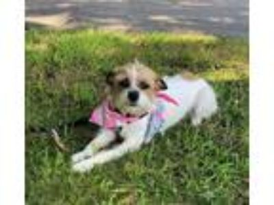 Adopt Zoe SDR in TX a Norwich Terrier