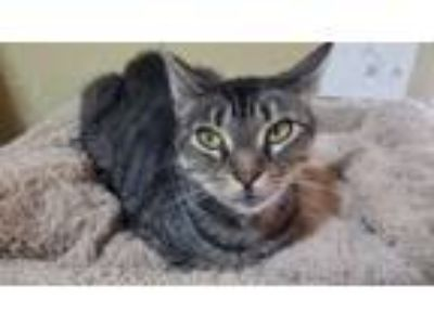 Adopt Belle a Domestic Short Hair