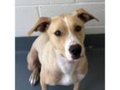 Adopt Evee a Tan/Yellow/Fawn - with White Labrador Retriever / Mixed dog in