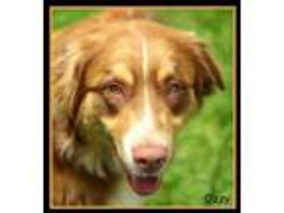 Adopt Ozzy a Red/Golden/Orange/Chestnut Australian Shepherd / Mixed dog in