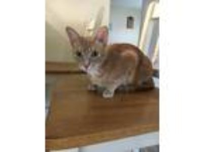 Adopt Piper a Tan or Fawn Domestic Shorthair / Mixed cat in Marietta