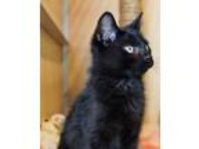 Adopt Midnight a Domestic Short Hair