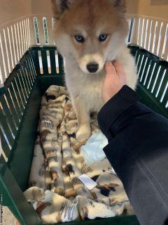 lovely pomsky puppy