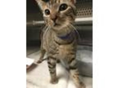 Adopt 34114A Ash (@Pounce Cat Cafe) a Brown or Chocolate Domestic Shorthair /