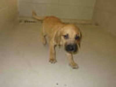 Adopt a Brown/Chocolate - with Black Labrador Retriever / Mixed dog in Winter