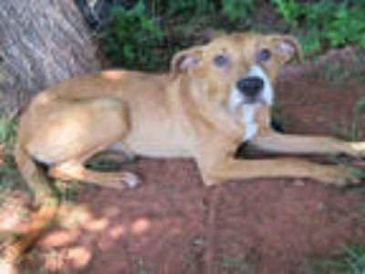 Adopt KRISSY a Red/Golden/Orange/Chestnut American Pit Bull Terrier / Mixed dog