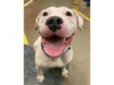 Adopt Angel a Pit Bull Terrier / Mixed dog in Troutdale, OR (25914886)