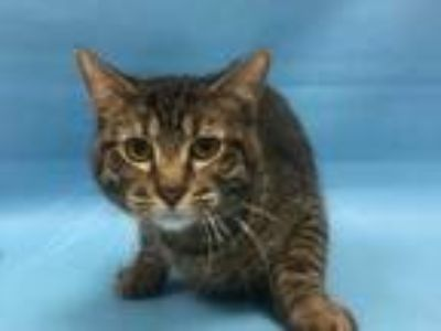 Adopt 42045296 a Brown or Chocolate Domestic Shorthair / Mixed cat in Coon