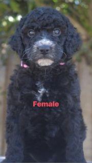 Labradoodle-Labrador Retriever Mix PUPPY FOR SALE ADN-100263 - F2B Labradoodle