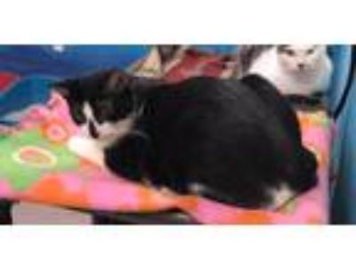 Adopt Jaxton a Black & White or Tuxedo Domestic Shorthair (short coat) cat in