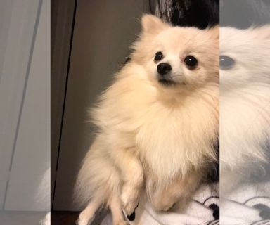 Pomeranian PUPPY FOR SALE ADN-126853 - Pomeranian female white cream puppy
