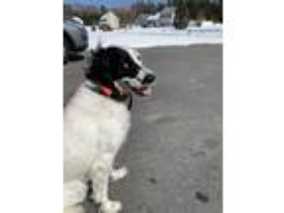 Adopt Rory Setter a English Setter