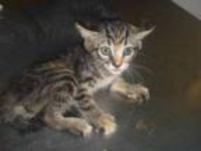 Adopt M.J. a Brown Tabby Domestic Shorthair / Mixed (short coat) cat in Naples