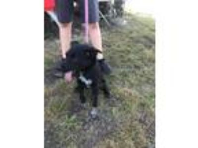 Adopt Narley a Black Labrador Retriever / Border Collie / Mixed dog in Justin