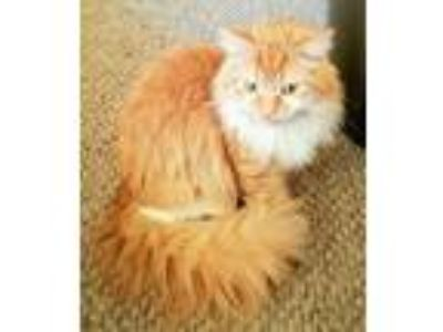 Adopt Ollie a Orange or Red (Mostly) Maine Coon (long coat) cat in Madison