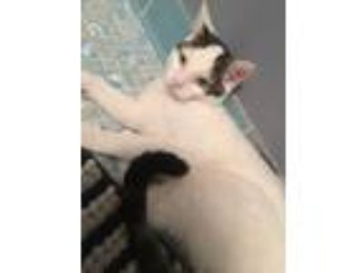 Adopt Beeris a White (Mostly) Domestic Shorthair / Mixed cat in Evans