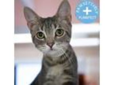 Adopt Selma a Gray or Blue Domestic Shorthair / Domestic Shorthair / Mixed cat