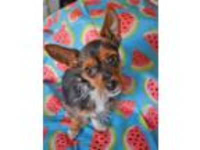 Adopt Kitty a Yorkshire Terrier, Toy Fox Terrier