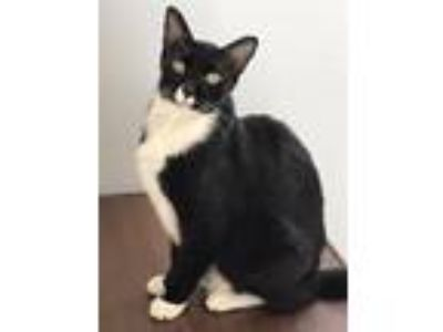 Adopt MyKee a Black & White or Tuxedo American Shorthair (short coat) cat in