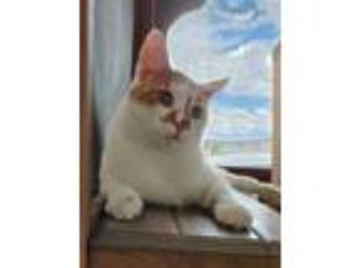 Adopt Levi a White Domestic Shorthair / Domestic Shorthair / Mixed cat in
