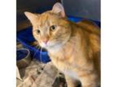 Adopt Big Dublin - BARN CAT a Orange or Red Tabby Manx (short coat) cat in