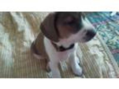 Adopt Dollie a Beagle, Wirehaired Terrier