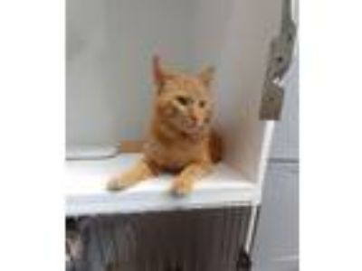 Adopt Meeko a Domestic Short Hair, Tabby