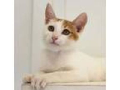Adopt Pono a Tan or Fawn Domestic Shorthair / Domestic Shorthair / Mixed cat in