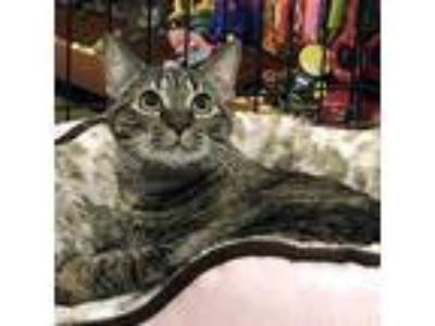 Adopt Ruthie a Brown Tabby Domestic Mediumhair / Mixed cat in Garner