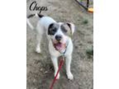 Adopt Chops a White American Pit Bull Terrier / Mixed dog in Valparaiso