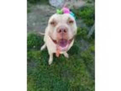 Adopt Thena a Pit Bull Terrier