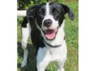 Adopt Jade a Black - with White Pointer / Mixed dog in Carrollton, GA (25293783)