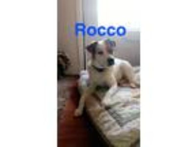 Adopt Rocco a White - with Brown or Chocolate American Staffordshire Terrier /