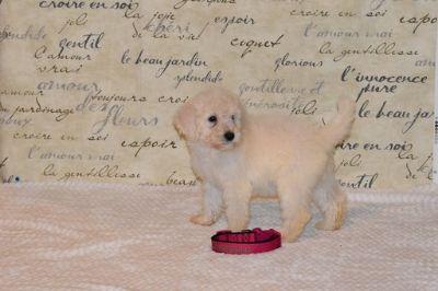 Goldendoodle-Poodle (Standard) Mix PUPPY FOR SALE ADN-104214 - Meet Charley F1bb Goldendoodle