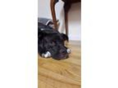 Adopt Croque-Monsieur a Black - with White Pit Bull Terrier / Mixed dog in