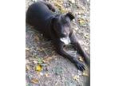 Adopt Darcy a Black Labrador Retriever