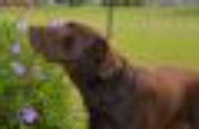 SIMBA Labrador Retriever Dog