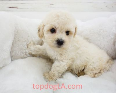 altipoo Puppy - Male – Bud ($1,299)