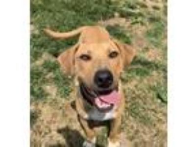 Adopt Cooper a Tan/Yellow/Fawn - with White Pit Bull Terrier / Hound (Unknown