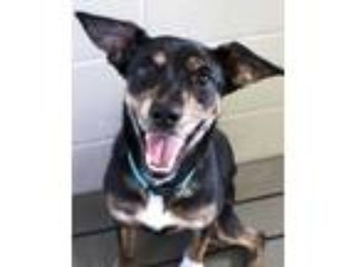 Adopt Roxi a Black Beagle / Australian Shepherd / Mixed dog in Victoria