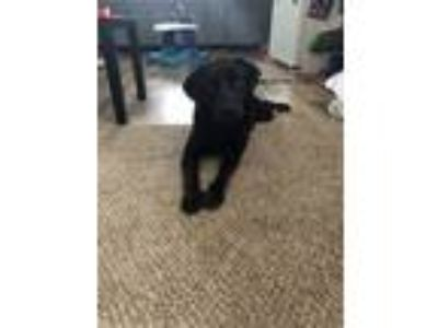 Adopt Boo a Black Labrador Retriever / Mixed dog in Palatka, FL (24812573)