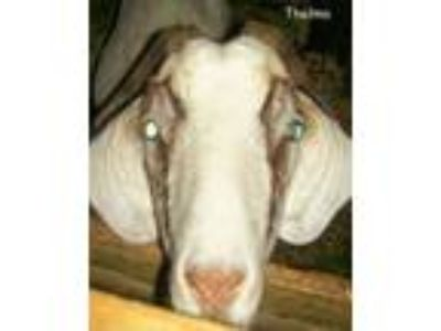 Adopt Thelma a Goat