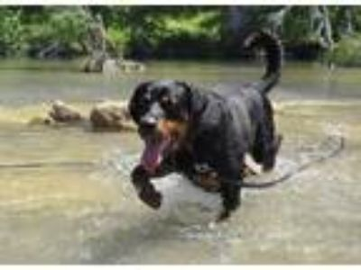Adopt Admiral a Black - with Tan, Yellow or Fawn Rottweiler / Mixed dog in