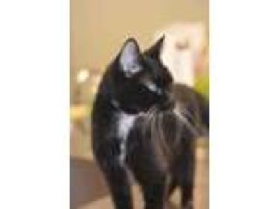 Adopt Wizard a All Black Domestic Shorthair / Domestic Shorthair / Mixed cat in