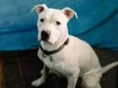 Adopt MAMAS a White American Pit Bull Terrier / Mixed dog in Fort Wayne