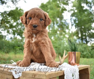 Poodle (Miniature)-Goldendoodle Mix PUPPY FOR SALE ADN-93849 - F1B Goldendoodle Basil