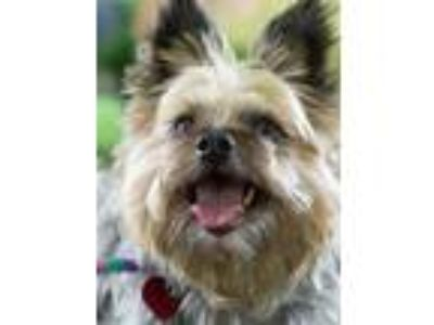 Adopt K C - Red Collar a Yorkshire Terrier